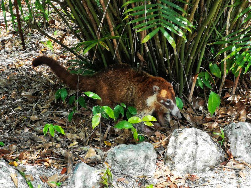mexiko-yucatan-rundreise-calakmul-mayastätte-nasenbär
